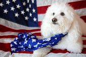 Maltese - Poodle aka Maltepo dog with an American Flag background and scarf. Forth or July with pets poster