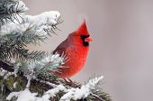 stock photo of cardinals  - Male northern cardinal sitting in an evergreen tree following a winter snowstorm - JPG