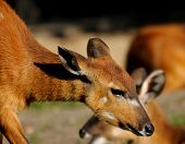 picture of bongo  - Little puppy of african bongo in a zoo - JPG