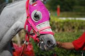 foto of blinders  - Light gray thoroughbred race horse wearing pink blinders being led into the paddock at a south florida racetrack - JPG