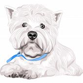 pic of westie  - color sketch closeup portrait serious dog West Highland White Terrier breed with blue collar - JPG