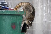 picture of dumpster  - raccoon climbing out of a trash dumpster - JPG