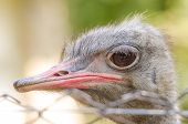 picture of ostrich plumage  - Gray Ostrich Bird Close Up Portrait Details - JPG
