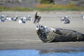 image of blubber  - A sleepy Harbor Seal napping on the beach - JPG