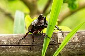 foto of oryctes  - Rhino Stag Beetle close up of insect in the nature - JPG