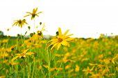 stock photo of jerusalem artichokes  - jerusalem artichokes sunflower in garden - JPG
