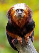 stock photo of species  - The four species of lion tamarins make up the genus Leontopithecus - JPG