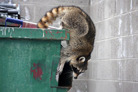 pic of dumpster  - raccoon climbing out of a trash dumpster - JPG