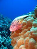 stock photo of hawkfish  - Blackside Hawkfish on a Hawaiian Reef with coral - JPG
