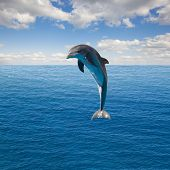pic of dolphins  - single jumping dolphin - JPG