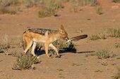 One Black Backed Jackal Play With Large Feather In Dry Desert Having Fun