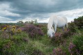 stock photo of pony  - Wild white pony horse grazing on flowering heather purple flowers in moors step in Devon Dartmoor National Park - JPG