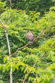 image of serpent  - Crested Serpent Eagle resting on a perch in forest - JPG