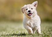 picture of golden  - Seven week old golden retriever puppy outdoors on a sunny day - JPG