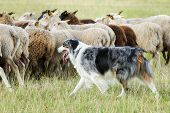 pic of collie  - Purebred border collie herding a flock of sheep on a summer day - JPG
