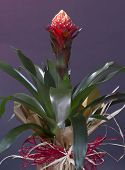 foto of testudo  - Bromeliad (Quesnelia testudo lindm.) for background use