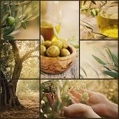 stock photo of olive trees  - Nature series - JPG