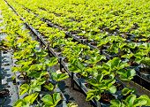 foto of strawberry plant  - Young strawberry plants ready to plant in a strawberry nursery - JPG