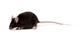 pic of fancy mouse  - Fancy Black Mouse in studio against a white background - JPG