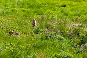 foto of marmot  - Marmots in the summer mountains near Tignes - JPG