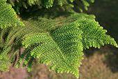 pic of conifers  - Araucaria excelsa - JPG