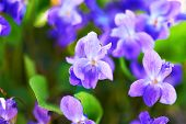 stock photo of viola  - Viola flowers on the green sunny field - JPG