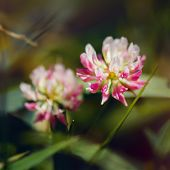 stock photo of red clover  - red flower clovers on green background leaf - JPG
