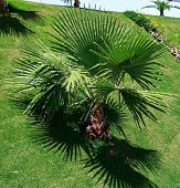 image of washingtonia  - Washingtonia filifera - JPG