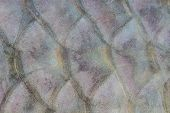 picture of fresh water fish  - Scales of fresh water fish close up - JPG