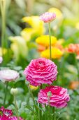 stock photo of buttercup  - Persian buttercup flowers  - JPG