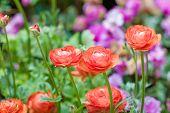 stock photo of buttercup  - Persian buttercup flowers  - JPG