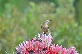 pic of passed out  - Cape sugarbird on protea flowers Sir Lowreys Pass Cape Town - JPG
