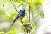 pic of monarch  - Black-naped Monarch Hypothymis azurea Birds of Thailand [[** Note: Shallow depth of field ** Note: Visible grain at 100%, best at smaller sizes - JPG