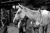 image of mare foal  - Mare and its foal next to a fence