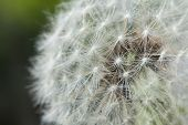 picture of dandelion seed  - Beautiful seeding dandelion flower with shallow focus in macro closeup - JPG