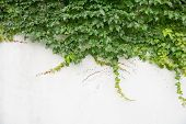 picture of ivy vine  - ivy leaves on wall background for wallpaper - JPG