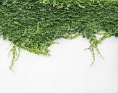 image of ivy  - ivy leaves on wall background for wallpaper - JPG