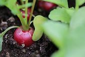 picture of radish  - Freshly Radish ready for harvesting in Germany