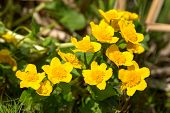 picture of marshes  - Marsh-marigold or kingcup (Caltha palustris). Here seen close up with a small black syrphid fly on the left most flower. Lovely bright yellow against green natural background. ** Note: Shallow depth of field - JPG