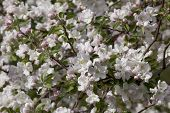 picture of may-flower  - White flowers apple spring day in May - JPG