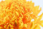 foto of marigold  - Macro shot of marigold flower showing natural pattern - JPG