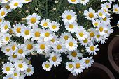 picture of moon-flower  - White Oxe - JPG