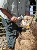 foto of clippers  - Mature farmer shearing sheep for wool outdoors with clipper - JPG