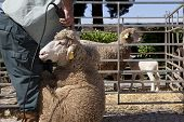 image of clippers  - Mature farmer shearing sheep for wool outdoors with clipper - JPG