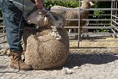 picture of clippers  - Mature farmer shearing sheep for wool outdoors with clipper - JPG