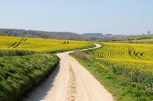 picture of rape-field  - Meandering foot path dirt track winding through farmland - JPG