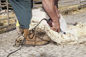 pic of farmworker  - Mature farmer shearing sheep for wool outdoors with traditional manual scissors - JPG
