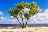 stock photo of windy  - Old willow tree with three trunks on the sandy shore of the reservoir on a windy day against the blue sky with clouds - JPG