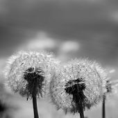 stock photo of blowing  - Black white Dandelion blow balls in Spring - JPG