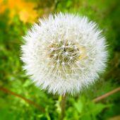 stock photo of dandelion seed  - Fine grown dandelion seed head detail - JPG